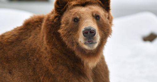 Woman faces federal charges after getting too close to Yellowstone grizzly bear
